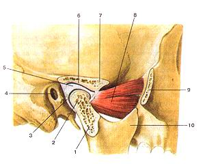 <br>Рис. 76. Височно-нижнечелюстной сустав (articulalio temporomaiKlibularis). Сагиттальный<br>разрез. 1-суставной (мышелковый) отросток нижней челюсти; 2-головка нижней челюсти;<br>3-суставиая капсула; 4-наружный слуховой проход; 5-суставной (внутрисуставной)<br>диск; 6-нижнечелюстная ямка; 7-суставной бугорок; 8-латеральная крыловидная<br>мышца; 9-височный отросток скуловой кости (отрезан); 10-венечный отросток нижней<br>челюсти.<br>Fig.<br><br><br><script async src=