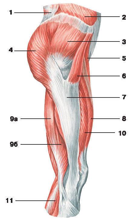 Рис.133. Мышцы таза и бедра (вид сбоку):1 — широчайшая мышца спины; 2 — наружная косая мышца живота; 3 — средняя ягодичная мышца;4 — большая ягодичная мышца; 5 — портняжная мышца; 6 — мышца, натягивающая широкую фасцию бедра;7 — подвздошно-большеберцовый тракт; 8 — самая длинная прямая мышца бедра;9 — двуглавая мышца бедра: а) длинная головка, б) короткая головка; 10 — латеральная широкая мышца бедра;11 — икроножная мышца