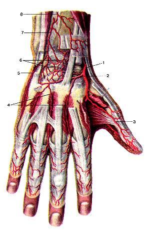 Рис. 298. Артерии кисти, правой. Вид сзади. 1-лучевая артерия; 2-тыльная запястная<br>ветвь лучевой артерии; 3-локтевая ладонная артерия большого пальца кисти; 4-тыльиые<br>пястные артерии; 5-тыльная запястная ветвь локтевой артерии; 6-тыльная сеть<br>запястья; 7-тыльная межкостная артерия; 8-тыльная ветвь передней межкостной<br>артерии.<br>Fig. 298. Артерии кисти, правой. Вид сзади. 1 -a. radialis; 2-r. palmaris dorsalis<br>a. radialis; 3-a. ulnaris palmaris pol-licis; 4-aa. те!асафа!5 dorsales; 5-r.<br>сафаНя dorsalis a. ulnaris; 6-rete сафа!е dorsale; 1-й. interossea dorsalis;<br>8-r. dorsalis a. interossea.<br>Fig. 298. Arteries of right hand. Anterior aspect. I-radial artery; 2-dorsal<br>сафа! branch of radial artery; 3-ulnar palmar artery of thumb; 4-dorsal interosseus<br>arteries; 5-dorsal сафа! branch of ulnar artery; 6-dorsal сафа! arch; 7-dorsal<br>interosseus artery; 8-dorsal branch of anterior interosseus artery.