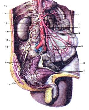 <br>Рис. 384. Брюшное аортальное сплетение (plexus aorticus abdomi-<br>nalis) и другие вегетативные сплетения брюшной полости и<br>таза. Вид спереди и немного справа. Печень; желудок; а также<br>брюшина и правый мочеточник удалены.<br>1-чревное сплетение; 2-верхнее брыжеечное сплетение; 3-брюшное аортальное сплетение;<br>4-пижнее брыжеечное сплетение; 5-верхнее подчревное сплетение; 6-прямая кишка;<br>7-мочепузырное сплетение; 8-правое нижнее подчревное сплетение; 9-крестцовое<br>сплетение; 10-правая обшая подвздошная артерия; 11-поясничное сплетение; 12-симматический<br>ствол; 13-аорто-почечный узел; 14-надпочечниковое сплетение; 15-большой внутренностный<br>нерв.<br>Fig. 384. Брюшное аортальное сплетение и другие вегетативные<br>сплетения брюшной полости и таза. Вид спереди и немного<br>справа. Печень; желудок; а также брюшина и правый<br>мочеточник удалены.<br>1 -plexus coeliacus; 2-plexus mesentericus superior; 3-plexus aorticus abdominalis;<br>4-plexus mesentericus inferior; 5-plexus hypogastricus superior; 6-rectum;7-plexus<br>vesicalis; 8-plexus hypogastricus inferior dexter; 9-plexussacralis; 10-a. iliaca<br>communis dextra; I l-plexuslum-balis;12-truncus sympathicus; 13-gangloin aorticorenale;<br>14-plexus suprarenalis;15-n. splanchnicus major.<br>Fig. 384. Abdominal aortic plexus and other vegetative plexi of abdominal cavity<br>and pelvis. Anterior and partly right aspect. Liver,<br>stomach, peritoneum and right ureter were removed. 1-coeliac plexus; 2-superior<br>mesenteric plexus; 3-abdominal aortic plexus; 4-inferior mesenteric plexus;<br>5-superior hypogastric plexus: 6-rectum; 7-vesical plexus; 8-right inferior<br>hypogastric plexus; 9-sacral plexus; 10-right common iliac artery; 11-lumbar<br>plexus; 12-sympathet-ic trunk; 13-interior aortorenal ganglion; 14-suprarenal<br>plexus; 15-greater splanchnic nerve.