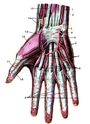 <br>Рис. 296. Поверхностные артерии кисти, правой. Вид спереди. I-локтевая артерия;<br>2-мышца-локтевой сгибатель запястья; 3-го-роховидная кость; 4-глубокая ладонная<br>ветвь; 5-удерживательсухожилий мышц-сгибателей; 6-иоверхностная ладонная дуга;<br>7-обшие ладонные пальцевые артерии; 8-сухожилия мышцы -поверхностного сгибателя<br>пальцев (кисти); 9-собственные ладонные пальцевые артерии; 10-локтевая артерия<br>большого пальца кисти; 11-лучевая артерия большого пальцы кисти; 12-корот-кая<br>мышца, отводящая большой палец кисти; 13-поверхностная ладонная ветвь (лучевой<br>артерии); 14-лучевая артерия; 15-сухо-жилие мышцы-лучевого сгибателя запястья.<br>Fig. 296. Поверхностные артерии кисти, правой. Вид спереди. 1-a.ularis; 2-m.<br>flexor carpi ulnaris; 3-os pisiforme; 4-r. palmaris pro-fundus; 5-retinaculum<br>flexorum; 6-arcus palmaris superficialis; 7-aa. digitales palmares communes;<br>8-tendines m. flexoris digitorum supcr-ticialis; 9-aa. digilales palmares propriae;<br>10-a. ulnaris pollicis; 11-a. radialis pollicis; 12-m. abductor pollicis brevis;<br>13-r. palmaris superficialis a. radialis; 14-a. radialis; 15-tendo m. flexoris<br>carpi radialis.<br>Fig. 296. Superficial arteries of right hand. Anterior aspect. 1-ulnar artery;<br>2-flexor carpi ulnaric; 3-pisitorm bone; 4-deep palmar branch; 5-flexor retinaculum;<br>6-superficial palmar arch; 7-common palmar digital arteries; 8-tendon of flexor<br>digitorum superficialis; 9-proper palmar digital arteries, 10-ulnar pollicis<br>artery; 11-radial pollicis artery; 12-abductor pollicis brevis; 13-supertlcial<br>palmar branch of radial artery; 14-radial artery; 15-tendon of flexor carpi<br>radialis.
