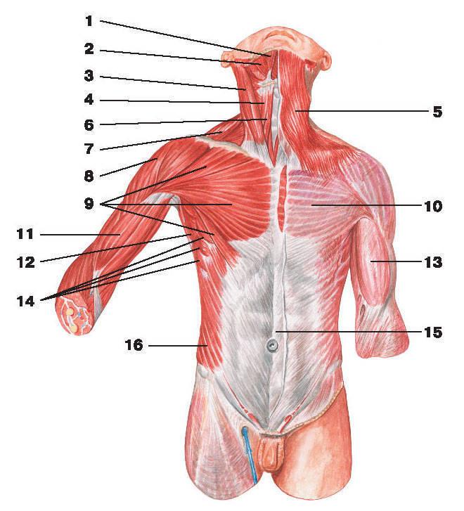 Рис.106. Поверхностные мышцы и фасции груди и живота:1 — двубрюшная мышца: переднее брюшко; 2 — челюстно-подъязычная мышца; 3 — грудино-ключично-сосцевидная мышца;4 — лопаточно-подъязычная мышца; 5 — подкожная мышца шеи; 6 — грудино-подъязычная мышца; 7 — трапециевидная мышца;8 — дельтовидная мышца; 9 — большая грудная мышца; 10 — грудная фасция; 11 — двуглавая мышца плеча;12 — широчайшая мышца спины; 13 — фасция плеча; 14 — передняя зубчатая мышца;15 — апоневроз наружной косой мышцы живота; 16 — наружная косая мышца живота