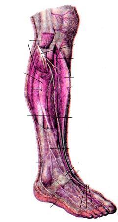 Нервы голени и стопы