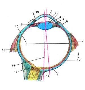 Рис. 386. Орган зрения. Схема строения<br>глазного яблока (bulbus<br>oculus), правого. Разрез в горизонтальной плоскости.<br><br><br><script async src=