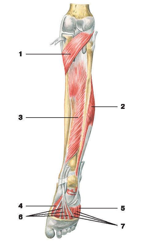 Рис.140. Мышцы голени и стопы (вид сзади):1 — подколенная мышца; 2 — короткая малоберцовая мышца; 3 — задняя большеберцовая мышца;4 — короткий сгибатель большого пальца стопы; 5 — короткий сгибатель мизинца стопы;6 — сухожилия длинного сгибателя пальцев; 7 — межкостные мышцы