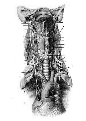 Блуждающий нерв (nervus vagus) и ею ветви