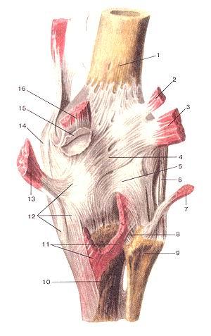 <br>Рис. 90. Коленный сустав (articulartio genus). Вид сзади. 1-бедренная кость;<br>2-подошвенная мышца (отвернута и отрезана); 3-латеральная головка икроножной<br>мышцы (отвернута и от-редана); 4-косая подколенная связка; 5-дугообразная подколенная<br>связка; 6-малоберцовая коллатеральная связка; 7-двуглавая мышца бедра (отвернула<br>и отрезана); 8-задняя связка головки малоберцовой кости; 9-юловка малоберцовой<br>кости; 10-большебер-цовая кость; 11-подколенная мышца (отрезана); 12-сухожилие<br>полуперепончатой мышцы (глубокая «гусиная лапка»); 13-полу-перепончатая мышца<br>(отвернута к отрезана); 14-болыпеберцовая коллатеральная связка; 15-медиальная<br>подсухожильная сумка икроножной мышцы; 16-медиальная головка икроножной мышцы<br>Fig. 90. Articulatio genus, правый. Вид сзади. 1-os femoris 2-m.plantaris (отвернута<br>и отрезана); 3-caput laterale musculi gastrocnemii (отвернута и отрезана); 4-ligamentum<br>popli-teum obliquum; 5-ligamentum popliteum arcuatum; 6-ligamentum collaterale<br>fibulare; 7-m.biceps femoris (отвернула и отрезана); 8-lig-amentum capitis fibulae<br>posterius; 9-caput fibulae; 10-tibia; 11-m.popliteus (отрезана); 12-tendo m.semimembranosi<br>(глубокая «гусиная лапка»); 13-m.semimembranosus (отвернута и отрезана); 14-ligamentum<br>collaterale tibiale; 15-bursa subtendinea musculi gastrocnemii medialis; 16-caput<br>m. gastrocnemii mediate.<br>Fig. 90. Right knee joint. Posterior view.<br>1-thigh bone (femur); 2-plantar muscle ( turnedaway and cut off); 3-lateral<br>head gastrocnemius; 4-oblique poplited ligament; 5-arcuate popliteal ligament;<br>6-fibular collateral ligament; 7-biceps muscle of thigh (turnedaway and cut<br>off); 8-posterior ligament of fibular head; 9-head of fibula; 10-tibia; 1 l-poplited<br>muscle (cut off); 12-the tendon of semimembranous muscle («deep goose's paw»);<br>13-semimembranous muscle ( turned away and cut off); 14-tibial colatteral ligament;<br>15-medial subtendon bursa of gostocnemius muscle; 16-medial head of 