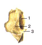 Слезная кость (os lacrimale). Вид с латеральной стороны. I-слезная борозда; 2-задний слезный гребень; 3-слезный крючок.