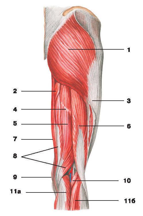 Рис.134. Мышцы таза и бедра (вид сзади):1 — большая ягодичная мышца; 2 — большая приводящая мышца; 3 — подвздошно-большеберцовый тракт;4 — сухожильная перемычка полусухожильной мышцы; 5 — полусухожильная мышца; 6 — двуглавая мышца бедра;7 — тонкая мышца; 8 — полуперепончатая мышца; 9 — портняжная мышца; 10 — подошвенная мышца;11 — икроножная мышца: а) медиальная головка, б) латеральная головка