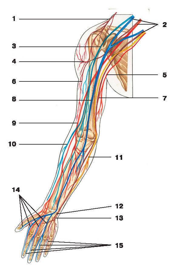 Рис.273. Схема нервов верхней конечности:1 — надключичный нерв; 2 — плечевое сплетение; 3 — мышечно-кожный нерв; 4 — подкрыльцовый нерв;5 — медиальный кожный нерв плеча; 6 — латеральный кожный нерв плеча; 7 — локтевой нерв; 8 — срединный нерв;9 — лучевой нерв; 10 — латеральный кожный нерв предплечья; 11 — медиальный кожный нерв предплечья;12 — поверхностная ветвь локтевого нерва; 13 — глубокая ветвь локтевого нерва; 14 — общие ладонные пальцевые нервы;15 — собственные ладонные пальцевые нервы