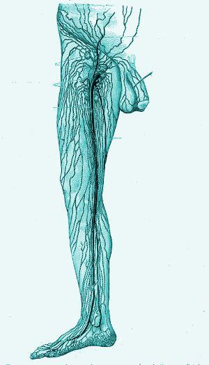 Лимфатические сосуды и лимфатические узлы нижней конечности правой