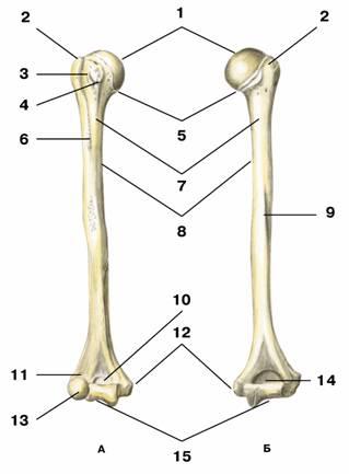 Большой бугорок (tuberculum majus) Плечевая кость А вид спереди; Б вид сзади: 1 головка плечевой кости; 2 большой бугорок; 3 межбугорковая борозда; 4 малый бугорок; 5 анатомическая шейка; 6 дельтовидная бугристость; 7 хирургическая шейка; 8 тело плечевой кости; 9 борозда лучевого нерва; 10 венечная ямка; 11 лучевая ямка; 12 медиальный надмыщелок; 13 головка мыщелка; 14 ямка лучевого отростка; 15 блок плечевой кости