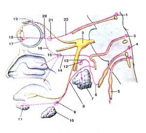 <br>Рис. 385. Головной отдел парасимпатической части<br>вегетативной нервной системы.<br>1-добавочное ядро глазодвигательного нерва; 2-тройннчньп узел; 3-верхнее слюноотделительное<br>ядро; 4-нижнее слюжх>тде лительное ядро; 5-блуждающий нерв; 6-барабанный<br>нерв; 7-око лоушная слюнная железа; 8-барабанная струна; 9-поднижнече люстной<br>узел; 10-поднижнечелюстная слюнная железа 11-подьязычная слюнная железа; 12-ушной<br>узел; 13-малый каме нистый нерв; 14-болыпой каменистый нерв; 15-КрЫЛОнебны?<br>узел; 16-соединительная ветвь со скуловым нервом; 17-реснич-ная мышца; 18-мышца,<br>суживающая зрачок; 19-слезная железа: 20-короткие ресничные нервы; 21-ресничный<br>узел; 22-глазодви-гательный корешок (парасимпатический).<br>Fig. 385. Головной отдел парасимпатической части вегетативной<br>нервной системы.<br>1 -nucleusoculomotoriusaccessorius; 2-ganglion trigeminale; 3-nucle-ussalivalorius<br>cranialis (salivarius superior); 4-nucleus salivalorius cau-dalis (salivarius<br>inferior); 5-n. vagus; 6-n. lympanicus; 7-glandula parotidea; 8-chorda tympani;<br>9-ganglion submandibularc; 10-glandula submandibularis; 1 l-glandula sublingualis;<br>12-ganglion oiicum; 13-n. petrosus minor; 14-n. petrosus major; 15-ganglion<br>pterygopalatinum; 16-r. commicans(cum nervozygomatico); 17-m. ciliaris; 18-m.<br>sphincter pupillae; 19-glandula lacrimalis; 20-nn. ciliares breves; 21-ganglion<br>ciliare; 22-radix oculomotoria (parasympathetica).<br>Fig. 385. Cranial part of parasympathetic part of vegetative nervous<br>system.<br>1 -accessory nucleus of oculomotor nerve; 2-trigeminal ganglion; 3-supe-rior<br>salivatory nucleus; 4-inferior salivatory nucleus; 5-vagus nerve; 6-tympanic<br>nerve; 7-parotid gland; 8-chorda tympani; 9-submamlibular ganglion; 10-submandibular<br>gland; I l-sublingual gland; 12-optic ganglion; 13-lesserpetrosal nerve; 14-greaterpetrosai<br>nerve; 15-plerygopala-tine ganglion; 16-communicating branch with zygomatic<br>nerve; 17-cil-iary muscle; 18-sphincter pupil