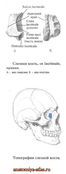 Слезная кость