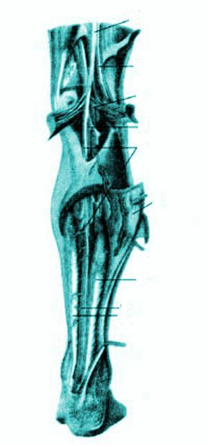 Нервы и кровеносные сосуды задней стороны голени, правой