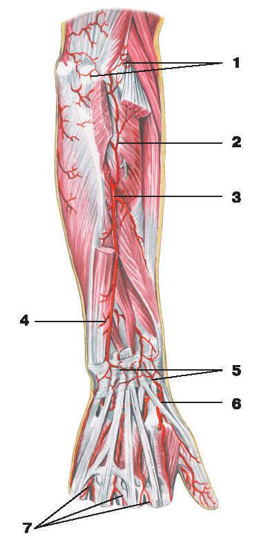 Рис.222. Артерии предплечья и кисти (тыльная поверхность):1 — суставная сеть локтя; 2 — возвратная межкостная артерия; 3 — задняя межкостная артерия; 4 — передняя межкостная артерия;5 — дорсальная сеть запястья; 6 — лучевая артерия; 7 — дорсальные пальцевые артерии