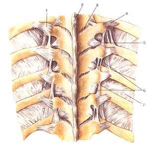 Рис. 75. Связки позвоночника и реберно-позвоночных<br>суставов. 1-связка бугорка ребра; 2-надостистая связка; 3-желтая связка; 4-реберно-ноперечная<br>связка; 5-латеральная реберно-иопереч-ная связка; 6-межпоперечные связки; 7-внутренняя<br>межреберная мембрана.<br>Fig. 75. Связки позвоночника и реберно-позвоночных суставов, l-ligamentum tuberculi<br>costae; 2-ligamentum supraspinatum; 3-liga-mentum llavum; 4-ligamentum costotransversarium;<br>5-ligamenta cos-totransversaria lateralia; 6- membrana intercostalis interna.<br>Fig. 75. Ligaments of vertebral column and costovertebral joints. 1-ligament<br>of tubercle of rib; 2-supraspinas ligament; 3-ligamenta flava; 4-costotransverse<br>ligament; 5-lateral costotransverse ligament; 6-internal intercostal membrane.