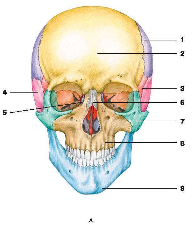 Рис.59. ЧерепА — вид спереди:1 — теменная кость; 2 — лобная кость; 3 — клиновидная кость; 4 — височная кость; 5 — слезная кость;6 — носовая кость; 7 — скуловая кость; 8 — верхняя челюсть; 9 — нижняя челюсть; 10 — затылочная кость