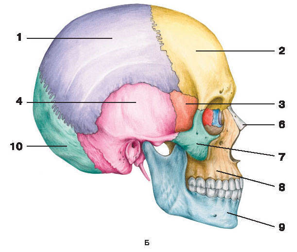 Рис.59. ЧерепБ — вид сбоку:1 — теменная кость; 2 — лобная кость; 3 — клиновидная кость; 4 — височная кость; 5 — слезная кость;6 — носовая кость; 7 — скуловая кость; 8 — верхняя челюсть; 9 — нижняя челюсть; 10 — затылочная кость