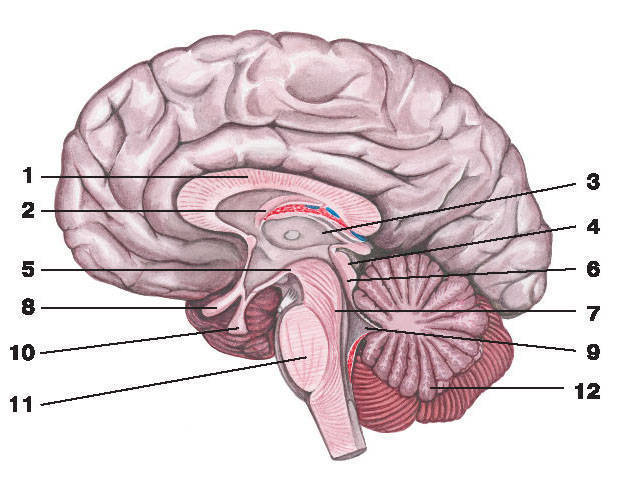 Рис.253. Головной мозг (вертикальный разрез):1 — мозолистое тело; 2 — свод; 3 — таламус; 4 — крыша среднего мозга; 5 — сосцевидное тело; 6 — водопровод среднего мозга;7 — ножка мозга; 8 — зрительный перекрест; 9 — IV желудочек; 10 — гипофиз; 11 — мост; 12 — мозжечок