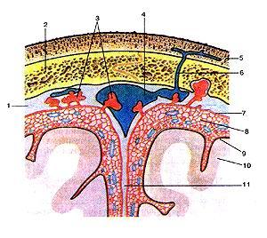 <br>Рис. 357. Оболочки головною мозга на поперечном (фронтальном) paipesc. Взаиморасположение<br>оболочек и верхнего сагиттального<br>синуса со сводом черепа и поверхностью головного мозга. 1-твердая оболочка головного<br>мозга; 2-свод черепа; 3-грануля-ции паугинной оболочки; 4-верхний сагиттачьный<br>синус; 5-ко-жа; 6-эмиссарная вена; 7-паутинная оболочка головного мозга; 8-подпаугинное<br>пространство; 9-мягкая оболочка головного мозга; 10-головной мозг; 11-серп большого<br>мозга.<br>Fig. 357. Оболочки головного мозга на поперечном (фронтальном) разреж. Взаиморасположение<br>оболочек и верхнего сагиттального<br>синуса со сводом черепа и поверхностью головного мозга. 1-dura mater encephali;<br>2-fornix cranii; 3-granulationes arachnoide-alis; 4-sinus saggitalis superior;<br>5-cutis; 6-vena emissaries; 7-arach-noidealis encephali; 8-spatium subarachnoidalis;<br>9-pia mater encephali; 10-encephalion; 11-falx cerebri.<br>Fig. 357. Meninges at transverse (frontal) section of brain. Relationship between<br>meninges, superior sagitlal sinus, calvaria and<br>surface of brain.<br>I-cranial dura mater; 2-calvaria; 3-arachnoidal granulations; 4-superi-or sagittal<br>sinus; 5-skin; 6-emissary vein; 7-arachnoid mater; 8-sub-arachnoid space; 9-cranial<br>pia mater; 10-brain; 1 l-cerebral falx.
