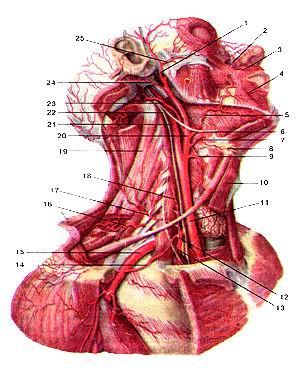 Рис. 285. Общая сонная (arteria carotis<br>communis) и подключичная (arteria subelavia) артерии и их ветви. Мышцы<br>шеи частично удалены. Вид справа.<br>1-поверхностная височная артерия; 2-угловая аргерия; 3-верхияя губная артерия;<br>4-нижняя губная артерия; 5-липевая артерия; 6-подъязычный нерв; 7-язычная аргерия;<br>8-подъязычная кость; 9-всрхняя щитовидная артерия; 10-фудино-подъязычная мышца;<br>11-правая общая сонная аргерия; 12-щито-шсйный ствол; 13-под-ключичная артерия<br>(прсдлестничная часть); 14-надлопаточная артерия; 15-подключичиная артерия;<br>16-поперечная аргерия шеи; 17-поверхностная шейная артерия; 18-восходящая артерия<br>шеи; 19-мышца; поднимающая лопатку; 20-наружная сонная артерия; 21-внугренняя<br>сонная артерия; 22-блуждающий нерв; 23-затылоч-ная артерия; 24-задняя ушная<br>артерия; 25-поперечная артерия липа.<br>Fig. 285. Общая сонная и подключичная артерии и их ветви.<br>Мышцы шеи частично удалены. Вид справа. 1-а. temporalis superficialis; 2-a.<br>angularis; 3-a. labialis superior; 4-a. labialis inferior; 5-a. facialis; 6-n.<br>hypoglossus; 7-a. lingualis; 8-os hyoideum; 9-a. thyroidea superior; 10-m. sternohyoideus;<br>I l-a. carotis communis (dextra); 12-truncus thyrocervicalis; 13-a. subelavia<br>(pars prescalenis); 14-a. supraseapularis; 15-a. subelavia; 16-a. transversacer-vicis;<br>17-a. eervicalis superficialis; 18-a. cervicalis ascendens; 19-m. lev-ator scapulae;<br>20-a. carotis externa; 21-a. carotis interna; 22-n. vagus; 23-a. occipitalis;<br>24-a. auricularis posterior; 25-a. transersa faciei.<br>Fig. 285. Common carotid artery and subclavian artery and their branches. Muscles<br>of neck are partially removed. View from the right. 1 -superficial temporal<br>artery; 2-angular artery; 3-superior labial artery; 4-inlcrior labial artery;<br>5-facial artery; 6-hypoglossal nerve; 7-lingual artery; 8-hyoid bone; 9-superior<br>thyroid artery; 10-stemohyoid muscle; ll-common carotid artery; 12-thyrocervical<br>trunk; 13-subclavian art