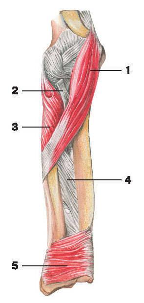 Рис.117. Мышцы предплечья вид (спереди):1 — круглый пронатор; 2 — сухожилие двуглавой мышцы плеча; 3 — супинатор;4 — межкостная мембрана; 5 — квадратный пронатор
