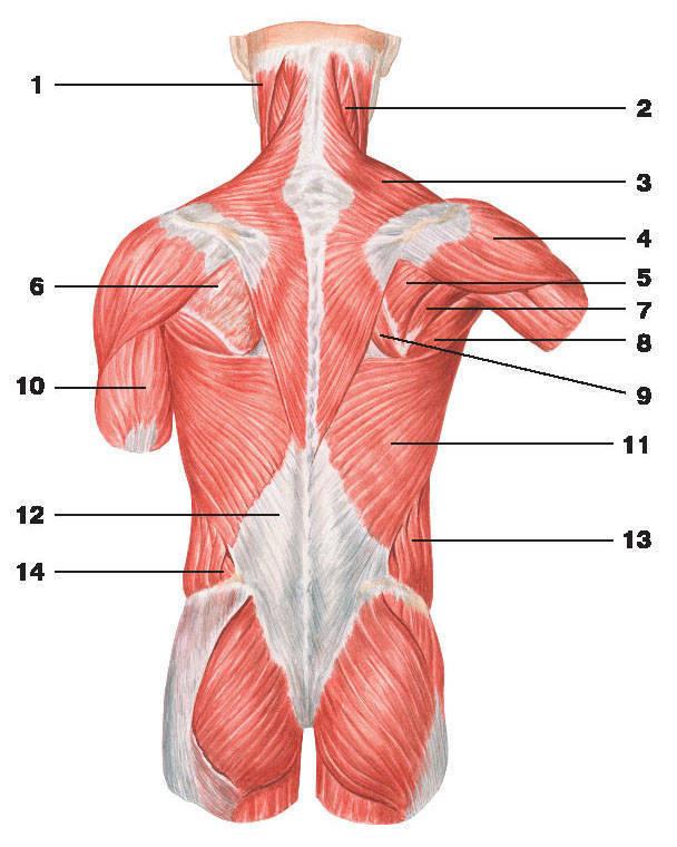Рис.101. Поверхностные мышцы спины:1 — грудино-ключично-сосцевидная мышца; 2 — ременная мышца головы; 3 — трапециевидная мышца;4 — дельтовидная мышца; 5 — подостная мышца плеча; 6 — подостная фасция; 7 — малая круглая мышца;8 — большая круглая мышца; 9 — большая ромбовидная мышца; 10 — трехглавая мышца плеча;11 — широчайшая мышца спины; 12 — грудопоясничная фасция; 13 — наружная косая мышца живота;14 — внутренняя косая мышца живота