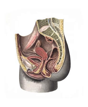 Женские половые органы (organa genitalia feminina)
