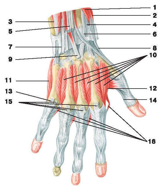 Рис.123. Мышцы кисти (тыльная поверхность):1 — короткий разгибатель большого пальца кисти; 2 — длинная мышца, отводящая большой палец кисти;3 — локтевой разгибатель запястья; 4 — сухожилие длинного лучевого разгибателя запястья; 5 — сухожилия разгибателей пальцев;6 — сухожилие короткого лучевого разгибателя запястья; 7 — сухожилие разгибателя мизинца; 8 — сухожилие длинного разгибателя большого пальца кисти;9 — сухожилие разгибателя указательного пальца; 10 — дорсальные межкостные мышцы; 11 — мышца, отводящая мизинец;12 — мышца, приводящая большой палец кисти; 13 — сухожилие разгибателя мизинца;14 — сухожилие длинной мышцы, отводящей большой палец кисти; 15 — сухожилия разгибателей пальцев; 16 — червеобразные мышцы
