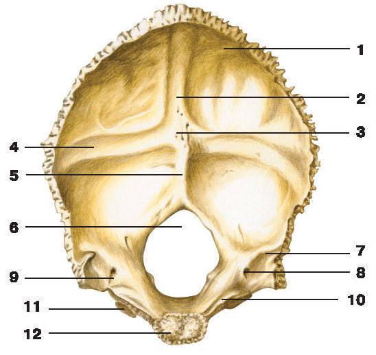 Рис.60. Затылочная кость (вид снаружи):1 — наружный затылочный выступ; 2 — затылочная чешуя; 3 — верхняя выйная линия;4 — наружный затылочный гребень; 5 — нижняя выйная линия; 6 — большое отверстие;7 — мыщелковая ямка; 8 — мыщелковый канал; 9 — боковая часть; 10 — яремная вырезка;11 — затылочный мыщелок; 12 — яремный отросток; 13 — глоточный бугорок; 14 — основная часть