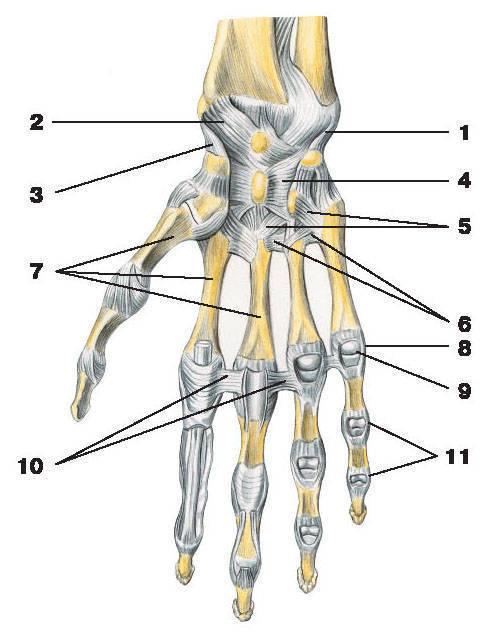 Рис.38. Связки лучезапястного сустава и соединений кисти (ладонная поверхность):1 — локтевая коллатеральная связка запястья; 2 — ладонная лучезапястная связка;3 — лучевая коллатеральная связка запястья; 4 — лучистая связка запястья;5 — ладонные запястно-пястные связки; 6 — ладонные пястные связки; 7 — пястные кости;8 — коллатеральные связки; 9 — пястно-фаланговый сустав V пальца;10 — глубокая поперечная пястная связка; 11 — боковые связки межфалангового сустава