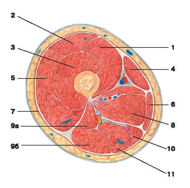 Рис.145. Мышцы и фасции бедра (поперечный разрез):1 — медиальная широкая мышца бедра; 2 — самая длинная прямая мышца бедра; 3 — промежуточная широкая мышца бедра;4 — портняжная мышца; 5 — латеральная широкая мышца бедра; 6 — тонкая мышца; 7 — широкая фасция бедра;8 — приводящие мышцы бедра; 9 — двуглавая мышца бедра: а) короткая головка, б) длинная головка;10 — полуперепончатая мышца; 11 — полусухожильная мышца
