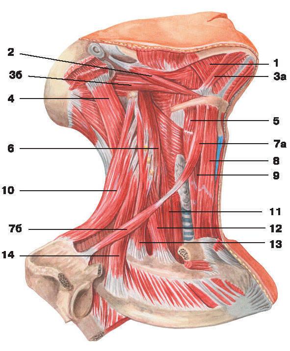 Рис.97. Срединные и глубокие мышцы шеи (вид сбоку):1 — челюстно-подъязычная мышца; 2 — шилоподъязычная мышца;3 — двубрюшная мышца: а) переднее брюшко, б) заднее брюшко;4 — длиннейшая мышца головы; 5 — щитовидно-подъязычная мышца;6 — длинная мышца головы; 7 — лопаточно-подъязычная мышца: а) верхнее брюшко, б) нижнее брюшко;8 — грудино-подъязычная мышца; 9 — грудино-щитовидная мышца; 10 — мышца, поднимающая лопатку;11 — длинная мышца шеи; 12 — передняя лестничная мышца; 13 — средняя лестничная мышца;14 — задняя лестничная мышца