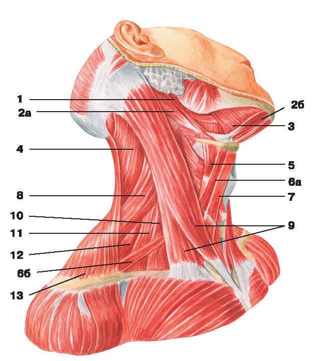 Рис.96. Поверхностные, срединные и глубокие мышцы шеи (вид сбоку):1 — шилоподъязычная мышца; 2 — двубрюшная мышца: а) заднее брюшко, б) переднее брюшко;3 — челюстно-подъязычная мышца; 4 — ременная мышца шеи; 5 — щитовидно-подъязычная мышца;6 — лопаточно-подъязычная мышца: а) верхнее брюшко, б) нижнее брюшко; 7 — грудино-подъязычная мышца;8 — мышца, поднимающая лопатку; 9 — грудино-ключично-сосцевидная мышца; 10 — передняя лестничная мышца;11 — средняя лестничная мышца; 12 — задняя лестничная мышца; 13 — трапециевидная мышца