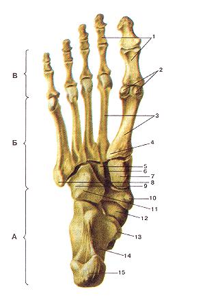 Кости стопы (ossa pedis). Подошвенная сторона (вид снизу). А-кости предплюсны, Г -кости плюсны, В—кости пальцев стопы (фаланги). 1-фаланги; 2-сесамовидные кости; 3-плюсневые кости; 4-бугри-стость I плюсневой кости; 5-латеральная клиновидная кость; 6-промежуточная клиновидная кость; 7-медиальная клиновидная кость; 8-бугристость V плюсневой кости; 9-борозда сухожилия длинной малоберцовой мышцы; 10-ладьевидная кость; 11-кубовидная кость; 12-головка таранной кости; 13-опора таранной кости; 14-пяточная кость; 15-бугор пяточной кости.