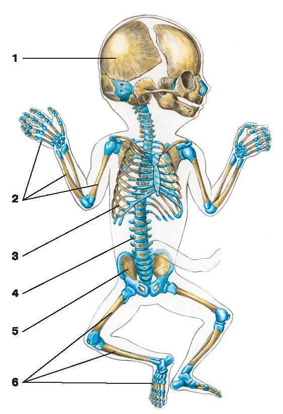 Рис.2. Скелет плода:1 — череп; 2 — кости верхней конечности; 3 — грудная клетка;4 — позвоночный столб; 5 — тазовые кости; 6 — кости нижней конечности