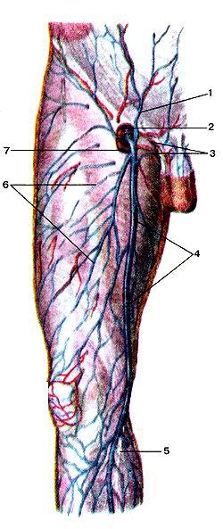 Рис. 329. Поверхностные пены бедра, правого. Вид<br>спереди.<br>1-поверхностная надчревная вена; 2-бедренная пена; 3-наружные половые вены:<br>4-большая подкожная вена ноги; 5-подкожный нерв; 6-подкожные вены бедра; 7-овальная<br>ямка.<br>Fig. 329. Поверхностные вены бедра, правого. Вид спереди.<br>l-v. epigastrica superflcialis; 2-v. femoralis; 3-vv. pudendae externae; 4-v.<br>saphena magna: 5-n. eulaneus; b-vv. subcu-Xanea femovis', 1 -fossa oas.<br>Fig. 329. Superficial veins of right femur. Frontal aspect. 1-superficial epigastric<br>vein; 2-femoral vein; 3-external pudenda! vein; 4-great suphe-nous vein; 5-suphenous<br>nerve: 6-subcutaneal veins (of femur); 7-oval fossa.