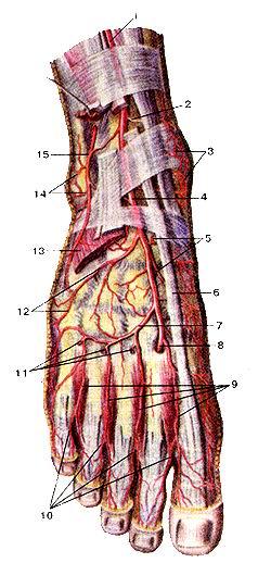 <br>Рис. 310. Артерии тыла стопы, правой. Вил сверху. 1-передняя болыпеберцовая<br>артерия; 2-медиальная передняя ло-дыжковая артерия; 3-медиальная лолыжковая<br>сеть; 4-тыльная артерия стопы; 5-медиальные предплюсневые артерии; 6-сухо-жилие<br>длинного разгибателя большого пальпа стопы; 7-лугооб-разная артерия; 8-глубокая<br>подошвенная артерия; 9-ты/1ьные плюсневые артерии; 10-ТЫлЬНЫе пальцевые артерии;<br>11-мрооо-дающие ветви; 12-латеральняя предплюсневая артерия; !3-ко-роткий разгибатель<br>пальцев стопы (отрезан); 14-латеральная ло-дыжковая ветвь; 15-латеральная передняя<br>лолыжковая артерия.<br>Fig. 310. Артерии тыла стопы, правой. Вид сверху. 1-а. tibialis anterior; 2-a.<br>malleolaris anterior medialis; 3-rete malleo-lare mediale; 4-a dorsalis pcdis;<br>5-aa. rnetatarsals dorsales; 6-tr-ndo m. flexoris hallicis longns; 7-a. arcuata;<br>8-a. plantares protondus; 9-aa. metatarsals dorsales; 10-aa. digitales dorsales;<br>11-rr. pertbrantes; 12-a. tarsalis lateralis; 13-m. extensor digitonmi brevis<br>(отрезан); 14-r. malleolaris lateralis; I5-a. malleolaris anterior lateralis.<br>Fig. 310. Arteries ot'dorsal surface of right loot. Superior aspect. 1-anterior<br>tibial artery; 2-anterior medial malleolar artery; 3-medial malleolar network;<br>4-dorsal artery offoot; 5 -dorsal metatarsal arteries: 6-tendon of extensor<br>hallncis longus; 7-arcuatc artery-; 8-deep plantai branch; 9-dorsal metatarsal<br>arteries; 10-dorsal digital arteries; 11-per-forating branches; 12-lateral tarsal<br>artery; 13-extensordigitoni4i brevis (removed); 14-lateral malleolar branch;<br>15-anterior lateral malleolai artery.
