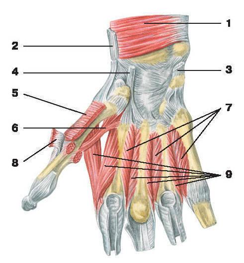 Рис.121. Мышцы кисти (ладонная поверхность):1 — квадратный пронатор; 2 — сухожилие плечелучевой мышцы; 3 — сухожилие локтевого сгибателя кисти;4 — сухожилие лучевого сгибателя кисти; 5 — мышца, противопоставляющая большой палец кисти;6 — короткий сгибатель большого пальца кисти; 7 — ладонные межкостные мышцы;8 — короткая мышца, отводящая большой палец кисти; 9 — дорсальные межкостные мышцы