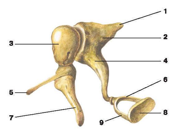 Рис.289. Слуховые косточки:1 — короткая ножка наковальни; 2 — тело наковальни; 3 — головка молоточка; 4 — длинная ножка наковальни;5 — передний отросток молоточка; 6 — задняя ножка стремени; 7 — рукоятка молоточка;8 — основание стремени; 9 — передняя ножка стремени