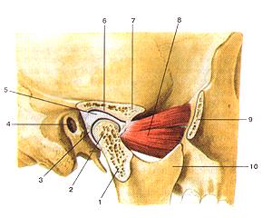 Височно-нижнечелюстной сустав (articulatio temporomandibularis) Височно-нижнечелюстной сустав (articulalio temporomaiKlibularis). Сагиттальный разрез. 1-суставной (мышелковый) отросток нижней челюсти; 2-головка нижней челюсти; 3-суставиая капсула; 4-наружный слуховой проход; 5-суставной (внутрисуставной) диск; 6-нижнечелюстная ямка; 7-суставной бугорок; 8-латеральная крыловидная мышца; 9-височный отросток скуловой кости (отрезан); 10-венечный отросток нижней челюсти. Articulatio temporornandibularis. Сагиттальный разрез. 1-processus articularis (condylaris) mandibulae; 2-caput mandibulae; 3-capsula anicularis; 4-porus acusticus extemus; 5-discus articularis; 6-fossa mandibularis; 7-tuberculum articulare; 8-m.pterygoideus later-alis; 9-processus temporalis ossis zygomatici; 10-processus coro-noideus. Tenporomandibular joint (sagittal section). 1-articular (condylar) process of mandible; 2-head of mandible; 3-articular capsule; 4-external acoustic opening; 5-articular disc; 6-mandibular fossa; 7-articular tubercle; 8-lateral pterygoid muscle; 9-temporal process of zygomatic bone (it is cut); 10-coronoid process of mandible.