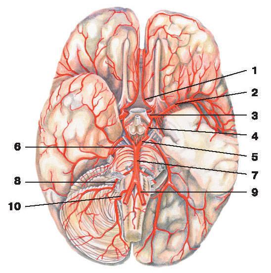Рис.217. Артерии мозга:1 — передняя мозговая артерия; 2 — средняя мозговая артерия; 3 — внутренняя сонная артерия; 4 — задняя соединительная артерия;5 — задняя мозговая артерия; 6 — верхняя мозжечковая артерия; 7 — основная артерия; 8 — передняя нижняя мозжечковая артерия;9 — позвоночная артерия; 10 — задняя нижняя мозжечковая артерия