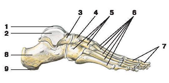 Рис.51. Кости стопы (вид сбоку):1 — блок таранной кости; 2 — таранная кость; 3 — головка таранной кости; 4 — ладьевидная кость; 5 — клиновидные кости;6 — кости плюсны; 7 — кости пальцев стопы; 8 — пяточная кость; 9 — бугорок пяточной кости