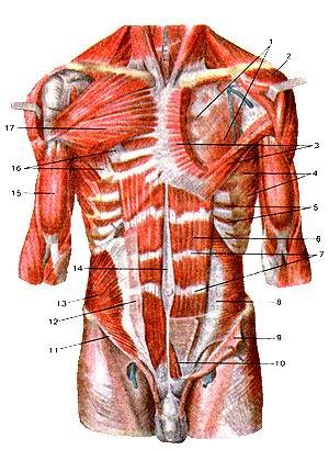 <br>Рис. 117. Мышцы туловища (фуди и живота). Вид спереди. 1-глубокая пластинка<br>грудной фасции; 2-дельтовидная мышца (оттянута в сторону); 3-большая грудная<br>мышца (частично удалена); 4-передняя зубчатая мышца; 5-внутренние межреберные<br>мышцы; 6-прямая мышца живота; 7-сухожильные перемычки; 8-поперечная мышца живота;<br>9-внутренняя косая мышца живота (отрезана и отвернута вниз); 10-пирамидальная<br>мышца; 11-паховая связка; 12-апоневроз внутренней косой мышцы живота; 13-внутренняя<br>косая мышца живота; 14-белая линия живота; 15-двуглавая мышца плеча; 16-малая<br>фудная мышца; 17-большая фудная мышца.<br>Fig. 117. Мышцы туловища (фуди и живота). Вид спереди. I-lamina profunda fasciae<br>pectoralis; 2-m. deltoideus (оттянута в сторону); 3-m. pectoralis major (частично<br>удалена); 4-m. serratus anterior; 5-mm. intercostales interni; 6-m. rectus abdominis;<br>7-inter-sections tendineae; 8-m. transversus abdominis; 9-m. obliquus internus<br>abdominis (отрезана и отвернута вниз); 10-m. pyramidalis; 11-lig. inguinale;<br>12-aponeurosis m.obliqui interni abdominis; 13-m. obliquus internus abdominis;<br>14-linea alba (abdominis); 15-m.biceps brachii; 16-m. pectoralis minor; 17-m.<br>pectoralis minor.<br>Fig. 117. Muscles oftrank (of chest and abdomen). Anterior aspect. 1-pectoral<br>fascia (deep layer); 2-deltoid muscle (displaced); 3-pec-toralis major (partly<br>cut away); 4-serratus anterior; 5-internal intercostal; 6-rectus abdominis;<br>7-tendinous intersections; 8-lransversus abdominis; 9-internal oblique (cut<br>away and displaced); 10-pyrami-dalis; 11-inquinal ligament; 12-aponeurosis of<br>external oblique (of abdomen); 13-internal oblique (of abdomen); 14-linea alba;<br>15-biceps brachii; 16-pectoralis minor; 17-pectoralis major.