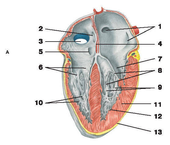 Рис.214. СердцеА — вид спереди:1 — отверстия легочных вен; 2 — овальное отверстие; 3 — отверстие нижней полой вены; 4 — продольная межпредсердная перегородка;5 — венечная пазуха; 6 — трехстворчатый клапан; 7 — митральный клапан; 8 — сухожильные нити;9 — сосочковые мышцы; 10 — мясистые перекладины; 11 — миокард; 12 — эндокард; 13 — эпикард;14 — отверстие верхней полой вены; 15 — гребенчатые мышцы; 16 — полость желудочка
