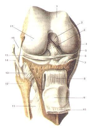 <br>Рис. 91. Коленный сустав (articulartio genus), правый. Вид спереди. Суставная<br>капсула удалена. Сухожилие четырехглавой<br>мышцы бедра и надколенник опущены вниз. 1-надколенниковая поверхность бедренной<br>кости; 2-задняя крестообразная связка; 3-передняя крестообразная связка; 4-медиаль-ный<br>мыщелок бедренной кости; 5-большеберцовая коллатеральная связка; 6-ноперечная<br>связка колена; 7-медиагп>ный мениск; 8-связка надколенника; 9-надколенник;<br>10-сухожилие четырехглавой мышцы бедра (отрезано и опущено вниз); 11-межкостная<br>перепонка голени; 12-головка малоберцовой кости; 13-передняя связка головки<br>малоберцовой кости; 14-сухожилие двуглавой мышцы бедра; 15-латеральный мениск;<br>15-малоберцовая коллатеральная связка; 17-латералы1ый мыщелок большеберцовой<br>кости.<br>Fig. 91. Articulatio genus, правый. Вид спереди. Суставная капсула удалена.<br>Сухожилие четырехглавой мышцы бедра и<br>надколенник удалены.<br>l-facies palellaris ossis lemons; 2-ligamentum cruciatum posterius; 3-ligamentum<br>cruciatum anterius; 4-condylus medialis ossis femoris; 5-ligamentum collateral<br>tibiale; 6-ligamentum transversum genus; 7-meniscus medialis; 8-ligamentum patellae;<br>9-patella; 10-tcndo m.quadricips lemons (отрезано и опушено вниз); ll-membrana<br>interossea cruris; 12-caput fibulae; 13-ligamentum capitis fibulae anterius;<br>14-tendo m.bicipitis femoris; 15-meniscus lateralis; 16-liga-mentum collaterale<br>tibulare; 17-condylus lateralis.<br>Fig. 91. Right knee joint. Anterior aspect. Articular capsule is absent.<br>The tendon of quadriceps muscle of thigh and patella (are lowered). 1-patellar<br>surface of femur; 2-posterior cruciate ligament; 3-anterior cruciate ligament;<br>4-medial condyle of femur; 5-tibial collateral ligament; 6-transverse ligament<br>of knee; 7-medial meniscus; 8-patellar ligament; 9-patella; 10-the tendon of<br>quadriceps (turned away and lowered); 11-interosseous membrane of leg; 12-head<br>of fibula; 13-anterior ligament of fibular