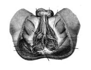 Нервы и кровеносные сосуды промежности мужчины