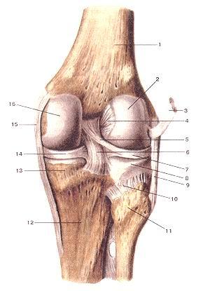<br>Рис. 92. Коленный сустав (articulartio genus), правый.<br>Вид сзади. Суставная капсула удалена.<br>1-бедренная кость; 2-латеральный мышелок бедренной кости; 3-сухожилие подколенной<br>мышцы (отвернуто и отрезано); 4-пе-редняя крестообразная связка; 5-задняя мениско-бедренная<br>связка; 6-задняя крестообразная связка; 7-латеральный мениск; 8-латеральный<br>мышелок большеберцовой кости; 9-малоберцо-вая коллатеральная связка; 10-задняя<br>связка головки малоберцовой кости; 11-головка малоберповой кости; 12-болыиеберцовая<br>кость; 13-медиальный мьщелокбольшеберцовой кости; 14-медиальный мениск; 15-большеберцовая<br>коллатеральная связка; 16-медиальный мыщелок большеберцовой кости.<br>Fig. 92. Articulatio genus, правый. Вид сзади. Суставная капсула удалена.<br>1-os lemons; 2-condylus lateralis ossis femoris; 3-tendo m.poplitei (отвернуто<br>и отрезано); 4-ligamentum cruciatum anterius; 5-liga-menlum meniscofemorale<br>poslerius; 6-ligamentum cruciatum pos-terius; 7-meniscus lateralis; 8-condylus<br>lateralis tibiae; 9-ligamentum collaterale fibulare; 10-ligamcntum capitis fibulae<br>posterius; 11-caput fibulae; 12-tibia; 13-condylus medialis tibiae; 14-meniscus<br>medialis; 15-ligamentum collaterale tibiale; 16-condylus medialis tibiae,<br>Fig. 92. Right knee joint. Posterior aspect. Articular capsule is absent.<br>1-thigh bone (femur); 2-lateral condyle of femur; 3-the tengon of popliteal<br>muscle (reflect and cut); 4-anterior cruciate ligament; 5-pos-teriormeniscofemorol<br>ligament; 6-posterior cruciate ligament; 7-later-al meniscus; 8-lateral condyle<br>oftibia; 9-fibular collateral ligament; 10-posterior ligament of fibular head;<br>11-head of fibular; 12-tibia; 13-medial condyle oftibia; 14-medial meniscus;<br>15-tibial collateral ligament; 16-mcdial malleolus oftibia.