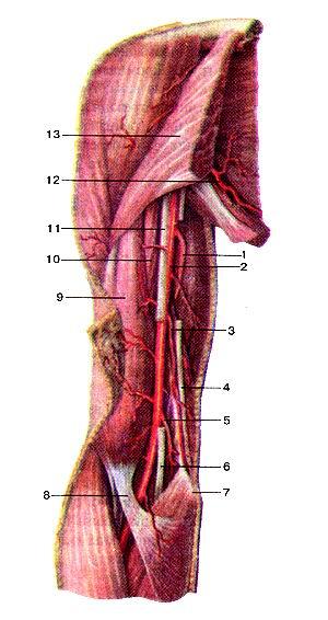 <br>Рис. 292. Артерии плеча, правого. Вид спереди. 1-глубокая артерия плеча; 2-плечевая<br>артерия; 3-верхняя локтевая коллатеральная аргерия; 4-локтевой нерв; 5-нижияя<br>локтевая коллатеральная артерия; 6-срединный нерв; 7-медиальный над-мыщелок<br>плечевой кости; 8-апоневроз двуглавой мышцы плеча: 9-двутлавая мышца плеча;<br>10-клювовидно-плечевая мышца; 11-срединный нерв; 12-подлопаточная артерия; 13-большая<br>грудная мышца;<br>Fig. 292. Артерии плеча, правого. Вид спереди. 1-а. protunda brachii; 2-a. brachialis;<br>3-a. collateralis ulnaris superior; 4-n. Tjlnaris; 5-я. collateralis ulnaris<br>inferior; 6-n. medianus; 7-epi-condylus medialis; 8-aponeurosis m. bicipitis<br>brachii; 9-m. biceps brachii; 10-m. coracobrachialis; 11-n.medianus; 12-a. subscapularis;<br>13-m. pectoralis major.<br>Fig. 292. Arteries of right arm. Frontal view.<br>1-deep brachial artery; 2-brachial artery; 3-superior ulnar collateral artery;<br>4-ulnar nerve; 5-interior ulnar collateral artery; 6-median nerve; 7-medial<br>epicodyle of humeris; 8-bicipital aponeurosis; 9-biceps brachii; 10-coracobrachialis;<br>11-median nerve; 12-subscapular artery; 13-pectoral major muscle.